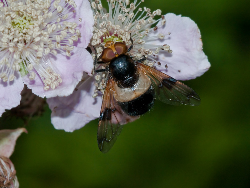 Pellucid Hoverfly (Syphidae-Syriphinae-Volucella pellucens). Copyright 2009 Peter Drury