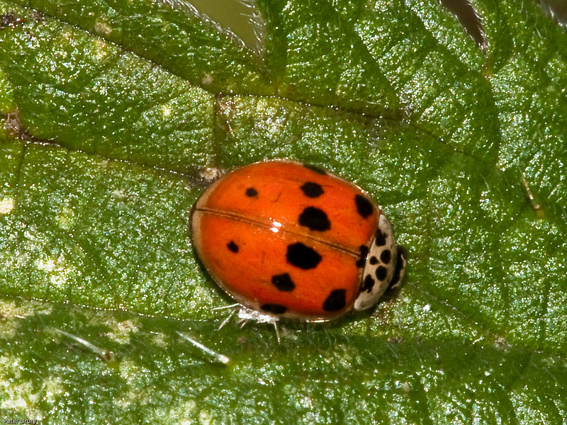 10 Spot ladybird (Adalia 10-punctata). Copyright 2009 Peter Drury<br /> Ladybirds are not categorised by the number of spots that you see nor even the colour. The distictive feature of this ladybird is the white Pronotum (part of body between the head and the wing case) which has five black spots and the brown legs. The spots on the wing case can be anything from 0 to 15. <br /> It  can be found in deciduous trees and hedgrows and feeds on aphids.<br /> This specimen was found on the south bank of the lagoon amongst the nettles.<br /> Seen March - October.