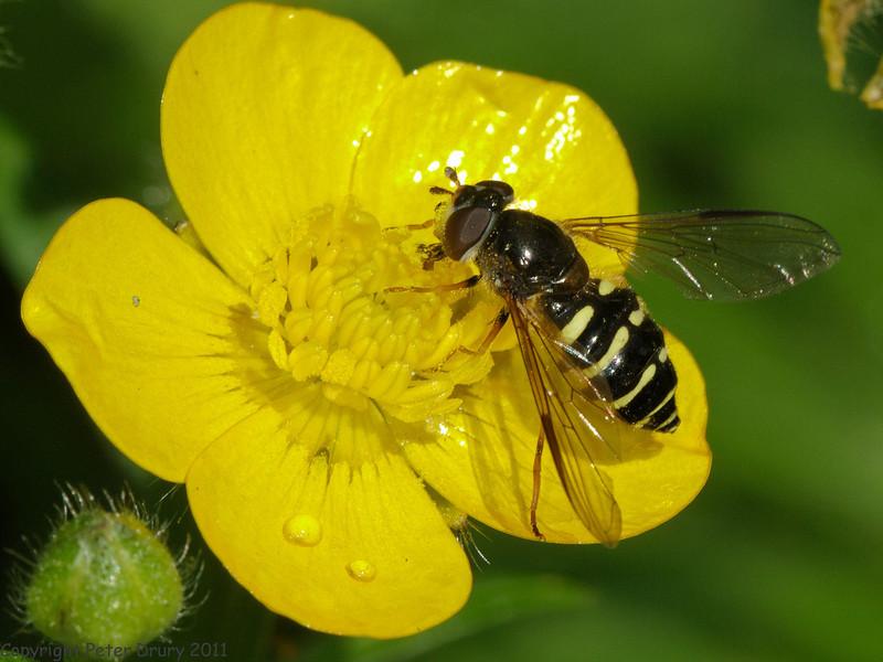 31 May 2011. Dasysyrphus venustus at Creech Wood, Denmead. Copyright Peter Drury 2011