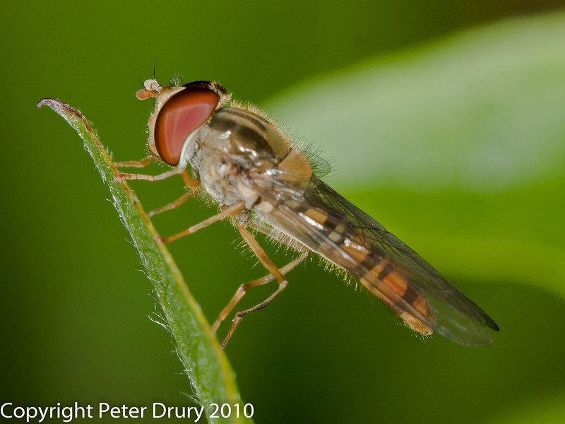 25 July 2010 - Marmalade Fly. Copyright Peter Drury 2010