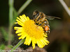 04 Sep 2010 -  Honey Bee (Apis mellifera) seen at Broadmarsh, Langstone Harbour. Copyright Peter Drury 2010