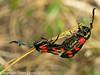 25 July 2010 - 6 spot Burnet Moth. Copyright Peter Drury 2010