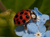 19 Apr 2010. Harlequin Ladybird (Harmonia axyridis succinea). Copyright Peter Drury 2010<br /> Searching for food amongst the dew drops.