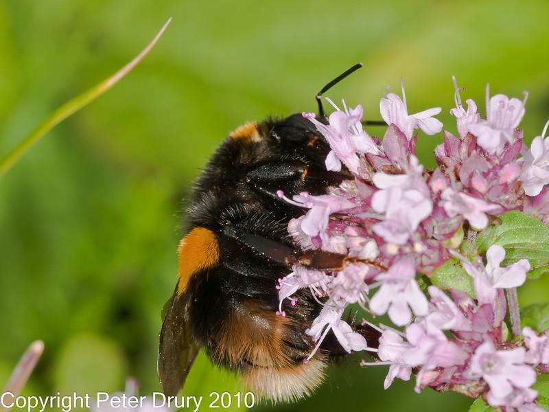 05 Sep 2010 -  Bombus terrestris (Queen) at The Armories, Portsdown Hill. Copyright Peter Drury 2010