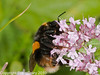 05 Sep 2010 -  Bombus terrestris (Queen) at The Armories, Portsdown Hill. Copyright Peter Drury 2010