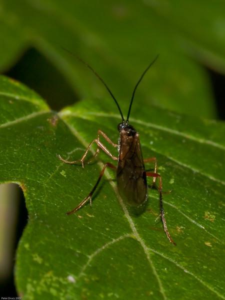Ichneumon Wasp. Copyright 2009 Peter Drury