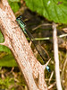 Blue-tailed Damselfly (Ishnura elegans). Copyright 2009 Peter Drury<br /> Seen March - October. Two broods per year in the south.