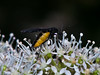 Fungus Gnat (Sciara hemerobioides). Copyright 2009 Peter Drury