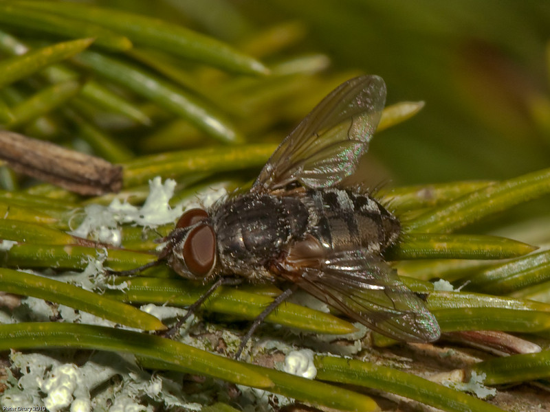 cluster fly (Calliphoridae pollenia sp). Copyright Peter Drury 2010
