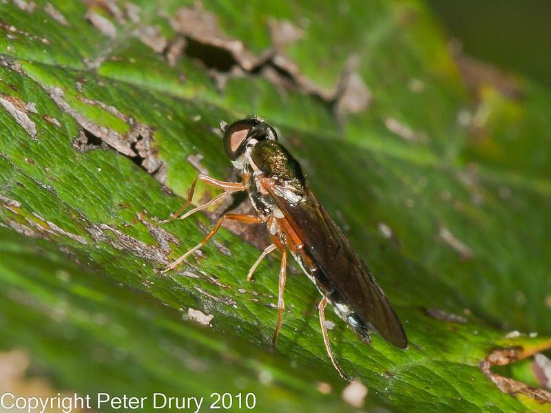05 Oct 2010 - Sargus bipunctatus at Plant Farm, Waterlooville. Copyright Peter Drury 2010