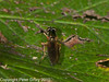 05 Oct 2010 - Sargus bipunctatus at Plant Farm, Waterlooville. Copyright Peter Drury 2010