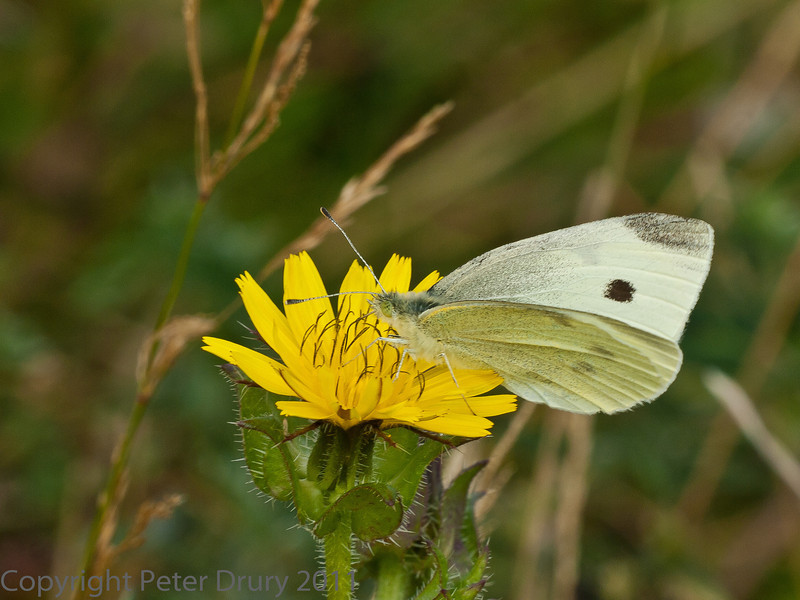 20 Sep 2011 Small white at Plant Farm