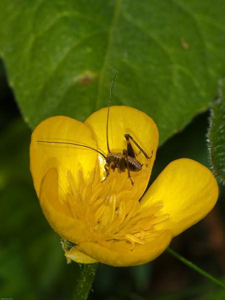 Dark Bush cricket (Pholidoptera griseoaptera) - nymph. Copyright Peter Drury 2010
