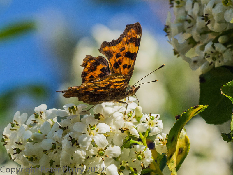 23 July 2012 Comma at Widley
