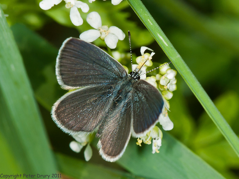 06 May 2011. Small blue in the Chalk Quarry. Copyright Peter Drury 2011