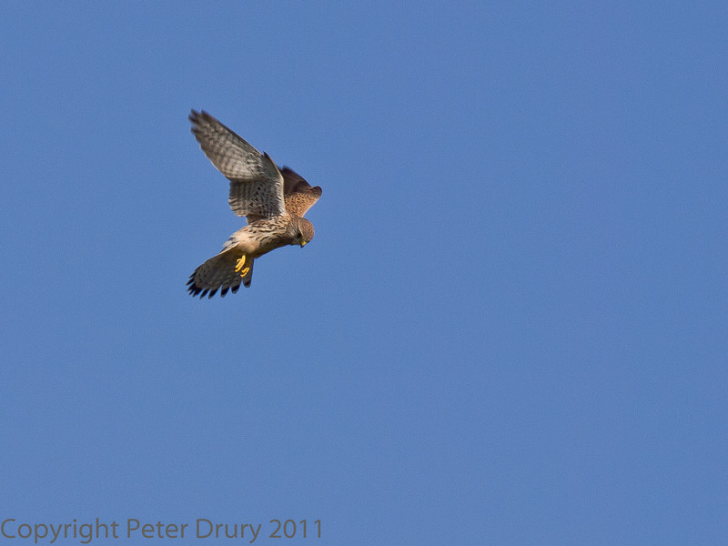 15 Oct 2011 Kestrel hunting in the marshes alongside the Hayling Billy Trail.