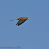 02 Oct 2011 Kestrel at Farlington Marshes