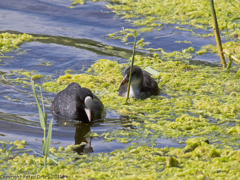 25 May 2011. Coot at Milton Common, Langstone Harbour shoreline. Copyright Peter Drury 2011