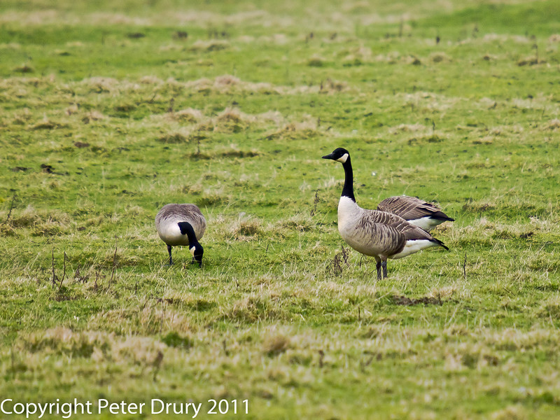 25 February 2011. Canada Goose at Farlington Marshes. Copyright Peter Drury 2011