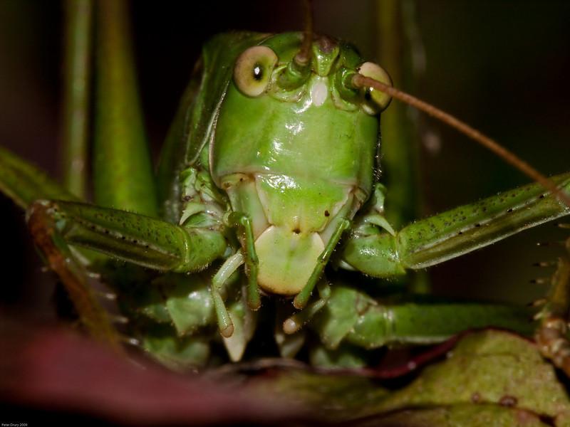 Great Green Bush-cricket (Tettigonia viridissima). Copyright 2009 Peter Drury