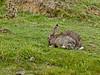 26 September 2011 Rabbit at North Hayling LNR.