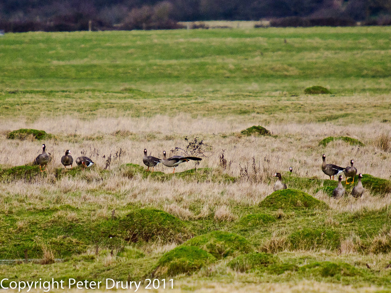 25 February 2011. White-fronted geese at Farlington Marshes. Copyright Peter Drury 2011