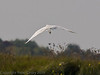 02 Oct 2011 Little Egret at Farlington Marshes