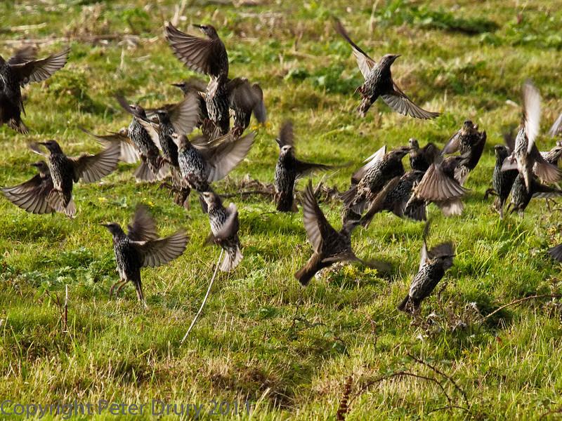 26 September 2011 Starling at North Hayling LNR.