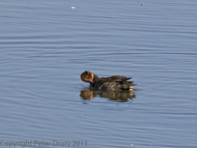 02 Oct 2011 Teal on the lake at Farlington Marshes.