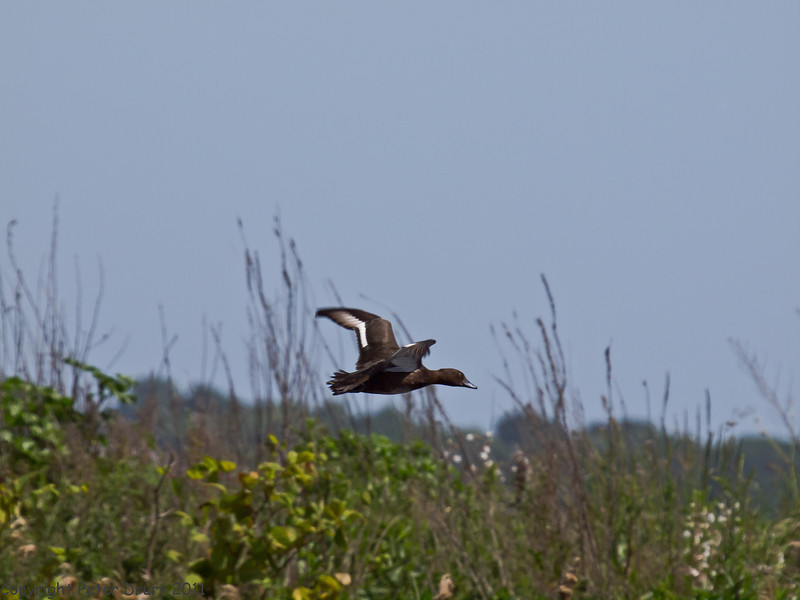25 May 2011 Female Tufted Duck in flight over Swan Lake, Milton Common, Langstone Harbour shoreline. Copyright Peter Drury 2011