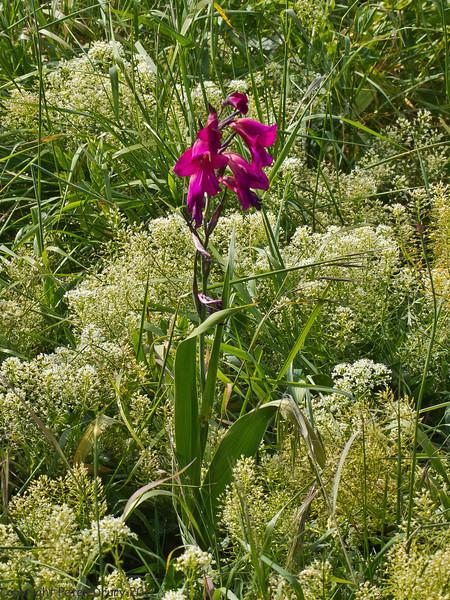 25 May 2011. Eastern Gladiolus at Milton Common, Langstone Harbour shoreline. Copyright Peter Drury 2011