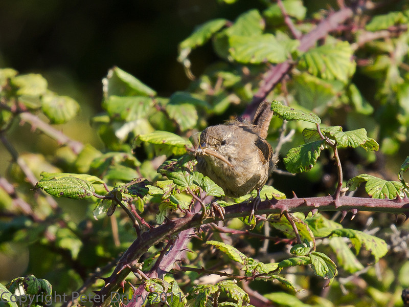 02 Oct 2011 Wren at Farlington Marshes