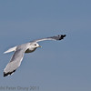 02 Oct 2011 Common Gull flying overhead at Farlington Marshes.