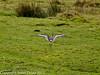 25 February 2011. Black-tailed Godwit at Farlington Marshes. Copyright Peter Drury 2011