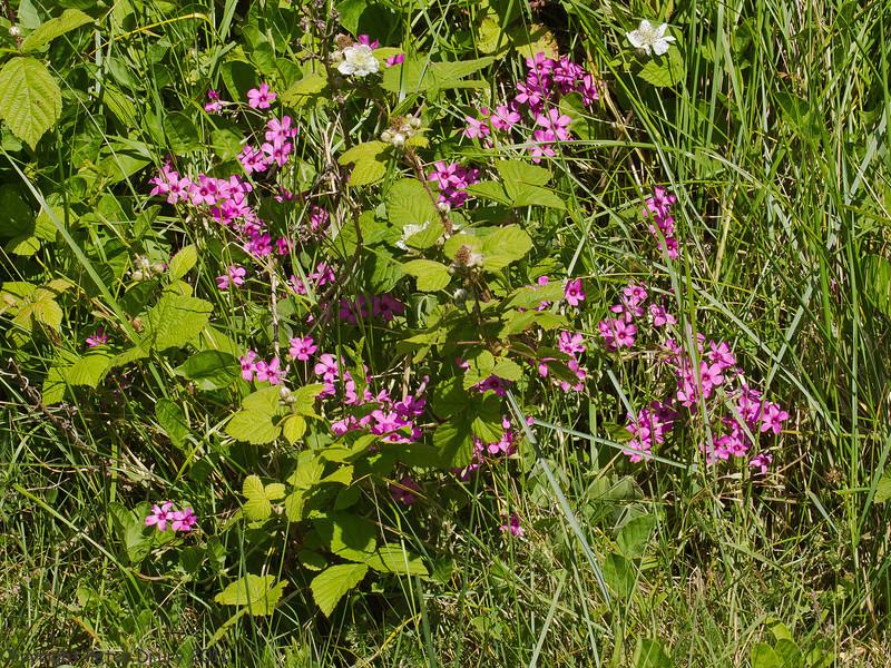 25 May 2011. Oxalis articulata at Milton Common, Langstone Harbour shoreline. Copyright Peter Drury 2011