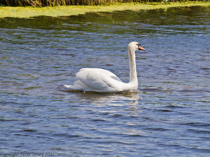 25 May 2011. Mute Swan at Milton Common, Langstone Harbour shoreline. Copyright Peter Drury 2011