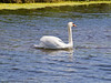 25 May 2011. Mute Swan at Milton Common, Langstone Harbour shoreline. Copyright Peter Drury 2011