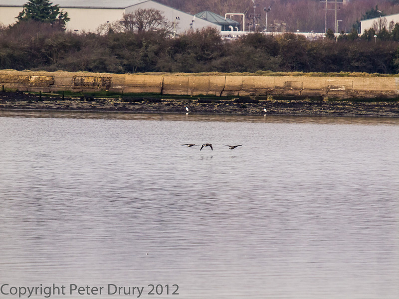 29 January 2012 Three Brent geese heading for the Southmoor shoreline. Two Little Egret stand sentinal on the shoreline like goal posts.