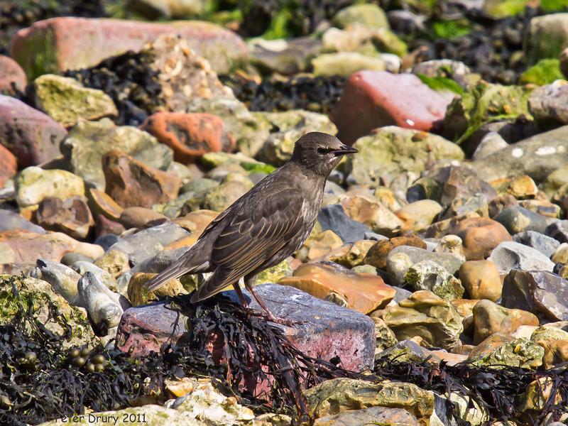 25 May 2011. Juvenile Starling at Milton Common, Langstone Harbour shoreline. Copyright Peter Drury 2011