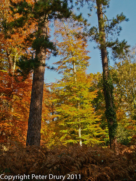 Time for change - transition to Autumn.  Copyright Peter Drury 2011