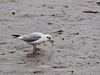 26 September 2011 Black-headed gull with crab at North Hayling LNR.