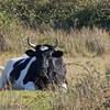 15 Oct 2011 Cattle used to control the vegetation in the meadows.