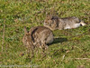 03 February 2011. A pair of rabbits enjoying the sunshine.  Copyright Peter Drury 2011