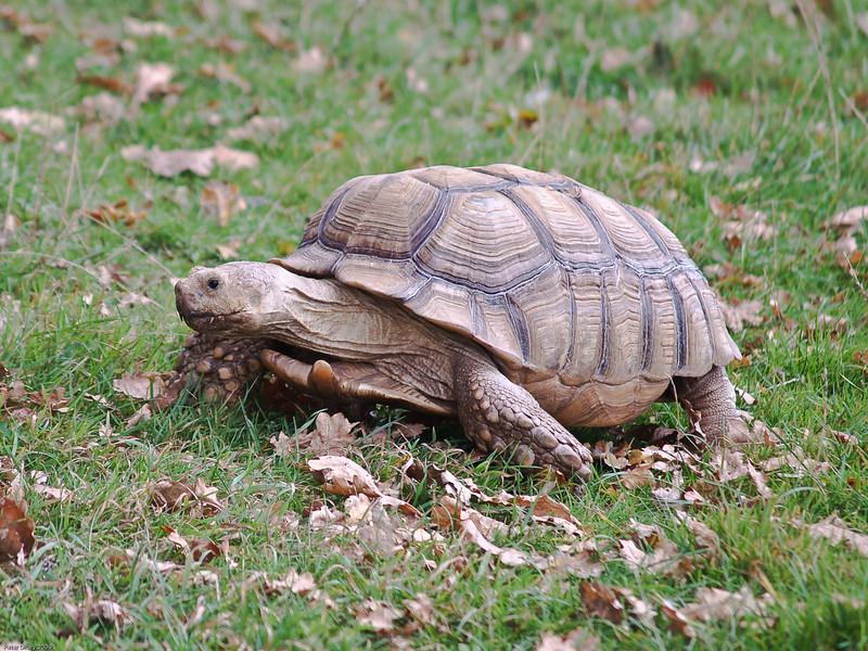 Tortoise. Copyright Peter Drury 2010<br /> Longleat Safari Park