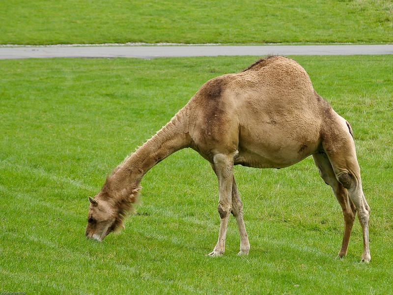 Camel. Copyright Peter Drury 2010<br /> Longleat Safari Park
