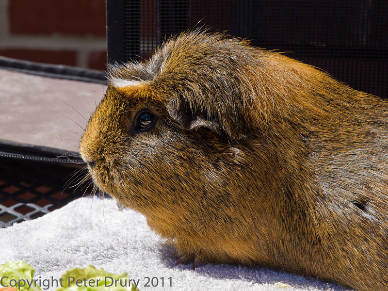20 August 2011 Our pet Guinea pigs Pip.