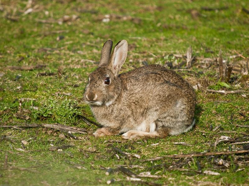 Rabbit. Copyright 2009 Peter Drury