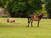 New Forest Ponies at Lyndhurst. Copyright Peter Drury 2010