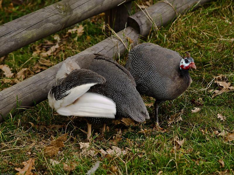 Guinea Fowl. Copyright Peter Drury 2010<br /> Longleat Safari Park