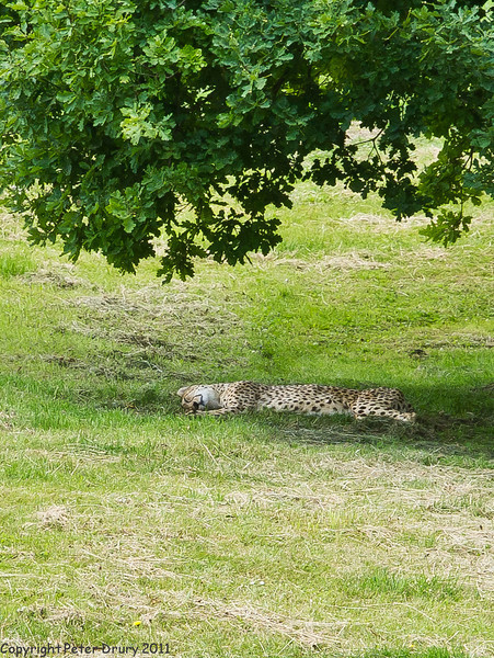 03 July 2011. Cheetah at Marwell. Copyright Peter Drury 2011